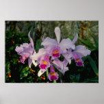 Pink Schruederae (Cattleya) flowers Print