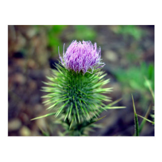 Pink Scotch thistle blossoming Postcard