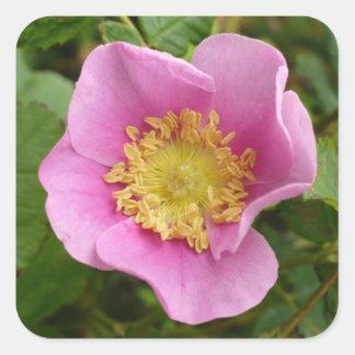 Pink Shrub Rose Blossom Square Sticker