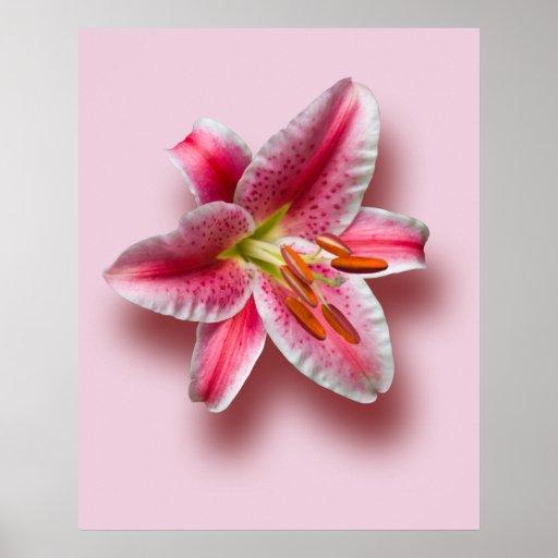 Pink Single Stargazer Lily Posters
