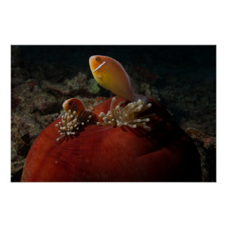 Pink skunk clownfish Great Barrier Reef Coral Sea Poster
