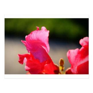 Pink Snapdragon Postcard