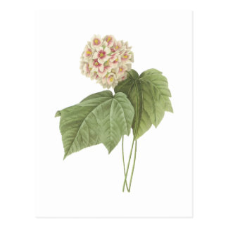 pink snowball(Dombeya ameliae) by Redouté Postcard