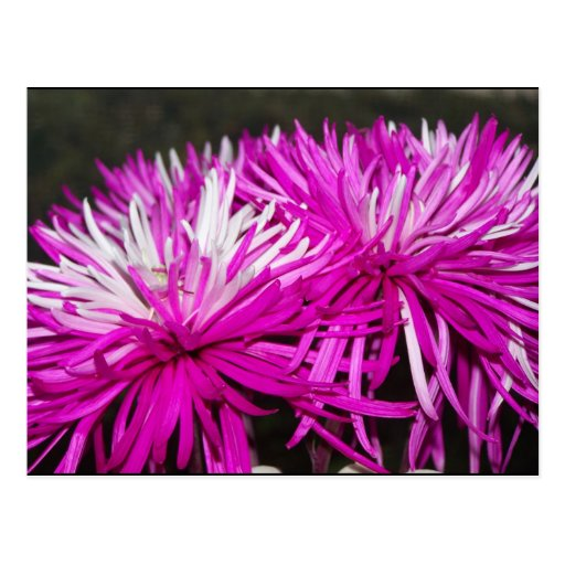Pink Spider Mums Postcards