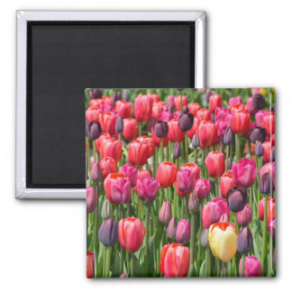 Pink spring tulips magnet