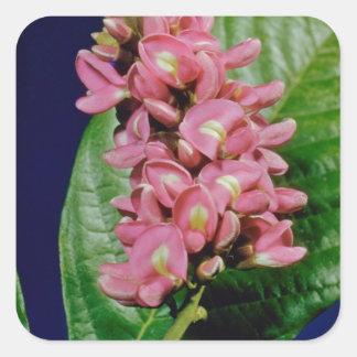 Pink St. Thomas pink bauhina (Bauhina monandra) fl Square Stickers