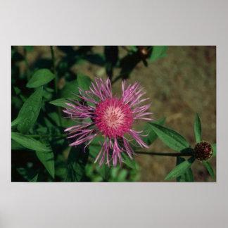 Pink Star Thistle, (Centaurea Jacea) flowers Poster
