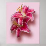 Pink Stargazer Lilies Posters