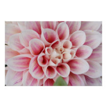 pink striped dahlia poster