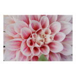 pink striped dahlia posters
