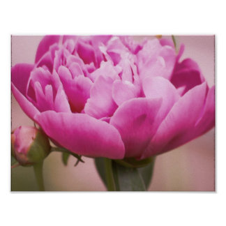 Pink Summer Peony Wall Poster