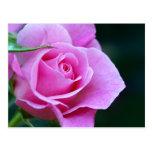 Pink Summer Rose Postcard
