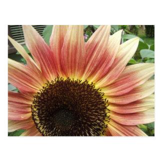 Pink Sunflower 51 ~ postcard
