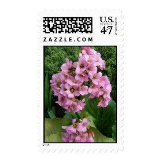 Pink Sweet Alyssum Flower Postage Stamps