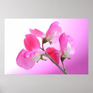 Pink Sweet Pea - Spring Fragrance - Poster Print