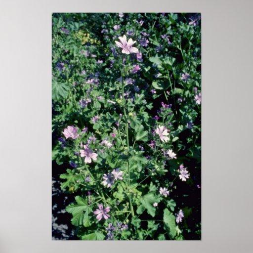 Pink Tall Mallow (Malva Sylvestris) flowers Print