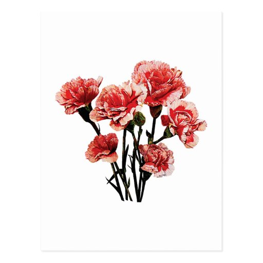 Pink-Tipped Carnations Post Cards