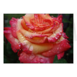 Pink to Yellow Rainbow Rose Greeting Card