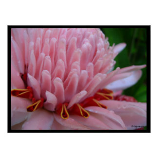 Pink Torch Ginger Bloom Exotic Poster Print