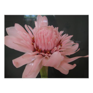 Pink Torch Ginger Exotic Poster Print