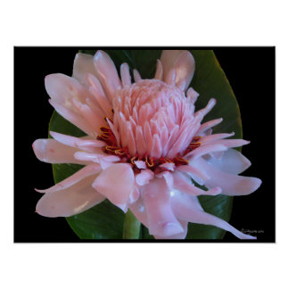 Pink Torch Ginger Hawaii Exotic Poster Prints