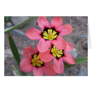 pink tricolored sparaxis flowers card