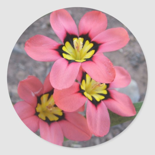 pink tricolored sparaxis flowers classic round sticker