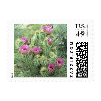 Pink Trill Desert Cactus Flowers Postage Stamps