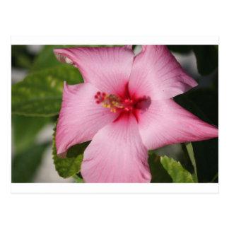 Pink Tropical Flower (Bahamas) Postcard