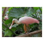 Pink Tropical Roseate Bird Poster Print