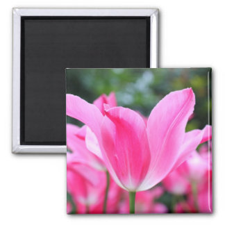Pink tulip beauty 2 inch square magnet