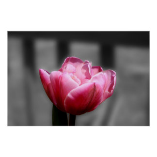 Pink Tulip Black and white poster or print
