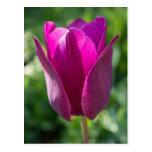 Pink Tulip Flower Floral Postcard