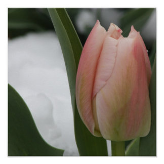 Pink Tulip in Snow Print