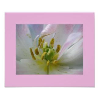 Pink Tulip Macro Photo