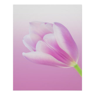 Pink Tulip on Pink Gradient Background Poster