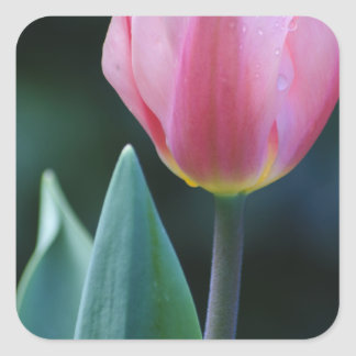 Pink Tulip Square Stickers