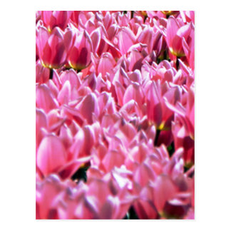 Pink Tulips in a Field Postcard