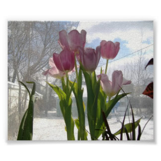 Pink Tulips On A Winter Morning Poster