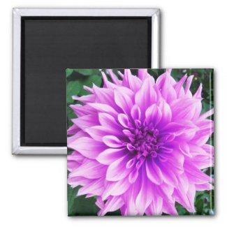 Pink violet dahlia magnet