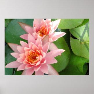 Pink Water Lilies Splendor Poster