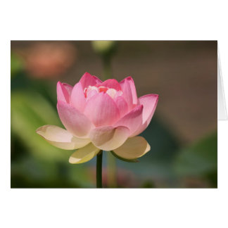 Pink Water Lily Cards