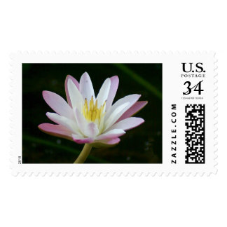 Pink water lily flower, Photo Large Postage
