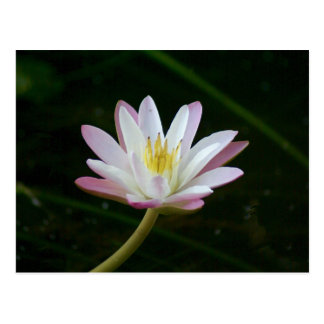 Pink water lily flower, Photo Postcard