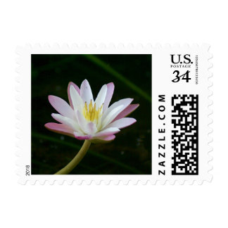 Pink water lily flower, Photo Small Postage