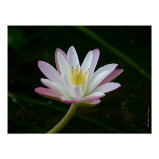 """Pink water lily flower, up to 24"""" x 18"""" Photo Poster"""
