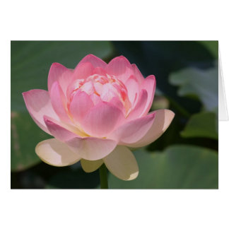 Pink Water Lily Greeting Cards