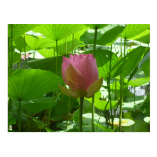 Pink Water Lily - Now Opening Postcard