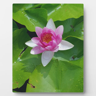 Pink Water Lily On Green Pads Photography Plaque