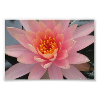 Pink Water Lily Photo Art
